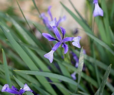 beardless: Iris lactea, wild iris, rhizomatous perennial herb with linear leaves and white beardless flowers with blue striated falls,