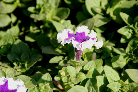 funnel shaped: Petunia hybrida Cascadia Rim Magenta, ornamental annual herb with oval leaves and funnel shaped magenta coloured flowers with white margin
