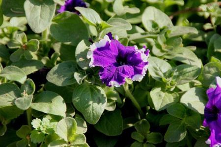 margen: Petunia hybrida Cascadia Violeta Falda, hierba anual ornamental con hojas ovaladas y flores de color violeta en forma de embudo con margen blanco