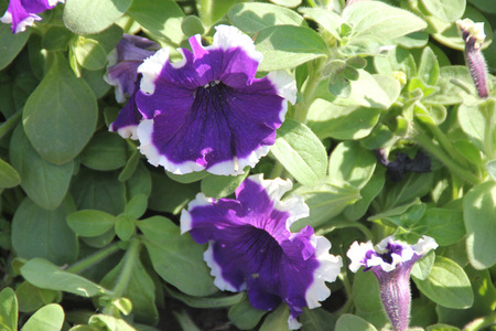 funnel shaped: Petunia hybrida Cascadia Violet Skirt, ornamental annual herb with oval leaves and funnel shaped violet coloured flowers with white margin Stock Photo