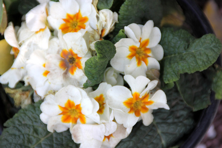 umbel: Primula vulgaris white, Primrose, Family Primulaceae, cultivated ornamental herb with basal rosette of thick obovate leaves and white flowers with yellow center, in an umbel on a scape Stock Photo