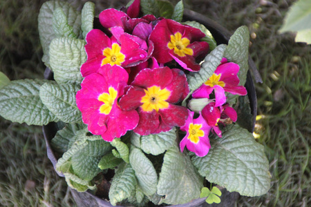 umbel: Primula vulgaris , Primrose, cultivated ornamental herb with basal rosette of thick obovate leaves and pink flowers with yellow and white center in an umbel.