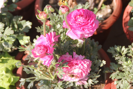 tuberous: Ranunculus asiaticus, Persian buttercup, family Ranunculaceae, popular garden tuberous rooted ornamental herb with basal dissected leaves and double terminal flowers in various colours on a long stalk