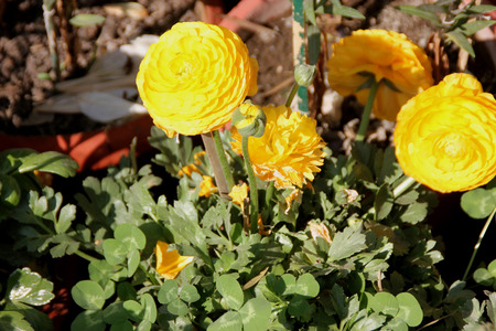 stalk flowers: Ranunculus asiaticus, Persian buttercup, family Ranunculaceae, popular garden tuberous rooted ornamental herb with basal dissected leaves and double terminal flowers in various colours on a long stalk