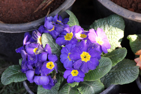 umbel: Primula vulgaris Denova Sky Blue, ornamental cultivated herb with basal rosette of obovate leaves and blue flowers with yellow center in an umbel Stock Photo
