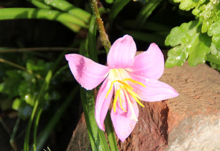 funnel shaped: Zephyranthes rosea, Cuban zephyrlily, rosy rain lily, perennial bulbous herbaceous plant with linear leaves and rose colored funnel shaped flower on long scape