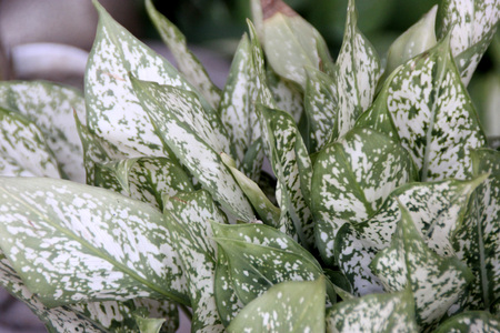 suitable: Aglaonema Snow White, cultivar of Chinese evergreen with green leaves densely covered with white spots all over, suitable for less lighted areas