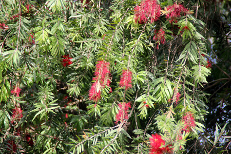 drooping: Callistemon viminalis, Weeping bottlebrush, evergreen tree with drooping branches, linear leaves and crimson flowers in spikes with monadelphous stamens