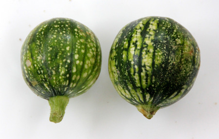 globose fruits: Cucurbita pepo, Rondini Tondo di Nizza, Tinda, 8 ball squash, cultivar with globose fruits usually smaller than 10 cm, used as vegetable when raw, in variety of skin markings Stock Photo
