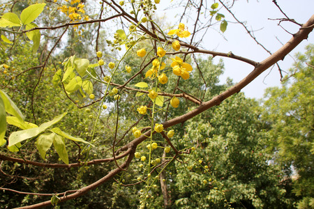 cylindrical: Cassia fistula, golden shower tree, Amaltas, deciduous tree with pinnate compound leaves and yellow flowers in pendulous racemes, pod cylindrical, fruit pulp used in medicine