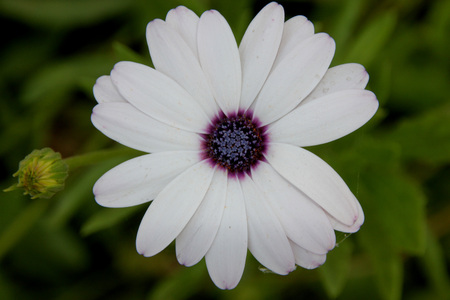 pinnately: Dimorphotheca pluvialis, Ox-eye daisy, Cape daisy, cultivated annual herb with narrow toothed or pinnately lobed leaves and white flower heads with small purple disc Stock Photo