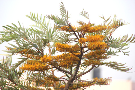 robusta: Grevillea robusta, Silky oak, Australian silver oak, Evergreen tree with dark green bipinnatifid fern like leaves and gloden-orange bottlebrush like flowers and leathery about 2 cm long fruits