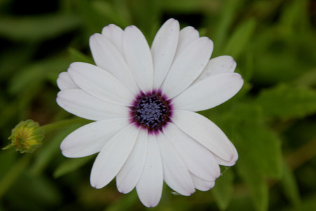 lobed: Dimorphotheca pluvialis, Ox-eye daisy, Cape daisy, cultivated annual herb with narrow toothed or pinnately lobed leaves and white flower heads with small purple disc Stock Photo