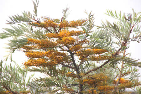 robusta: Grevillea robusta, Silky oak, Australian silver oak, Evergreen tree with dark green bipinnatifid fern like leaves and gloden-orange bottlebrush like flowers and leathery about 2 cm long fruits