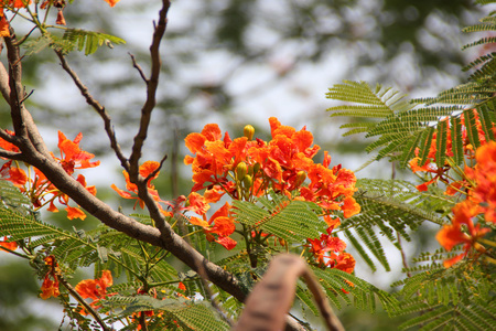 leaflets: Delonix regia, Royal Poinciana, Flamboyant, large deciduous tree with bipinnate leaves with small leaflets and orange red flowers in large panicles, pod flattened