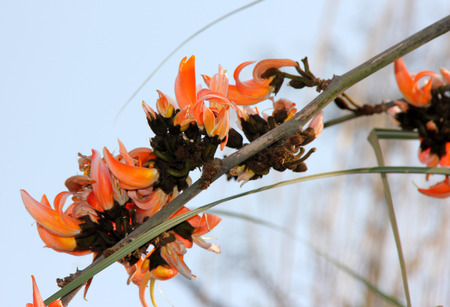 calyx: Butea monosperma, Flame of the Forest, deciduous tree with trifoliate compound leaves and orange coloured beaked flowers with black calyx