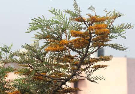 leathery: Grevillea robusta, Silky oak, Australian silver oak, Evergreen tree with dark green bipinnatifid fern like leaves and gloden-orange bottlebrush like flowers and leathery about 2 cm long fruits