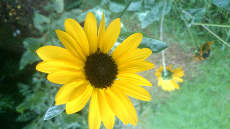 helianthus: Helianthus debilis, Cucumberleaf sunflower, beach sunflower, cultivated annual herb with ovate leaves and 6-9 cm across yellow flower heads with black disc. Stock Photo