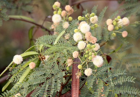 globose: Leucaena leucocephala, White leadtree, Jumbay, River tamarind, evergreen small tree with bipinnate leaves with oblong leaflets and small white flowers in globose heads, pods flat, up to 20 cm long, dark brown.