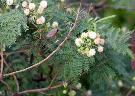 leaflets: Leucaena leucocephala, White leadtree, Jumbay, River tamarind, evergreen small tree with bipinnate leaves with oblong leaflets and small white flowers in globose heads, pods flat, up to 20 cm long, dark brown.