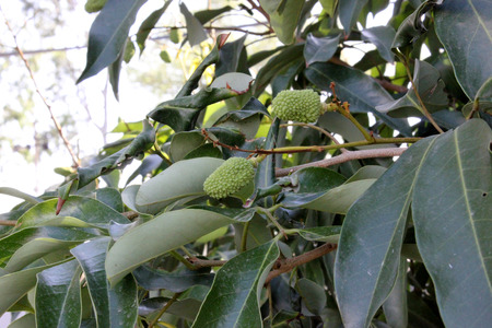 Litchi Chinensis, Lychee, Litchi, evergreen tropical tree with dark green shining leaves and round to ovoid fruits, ripening red with small protuberances, edible white pulp inside surrounding a large seed.