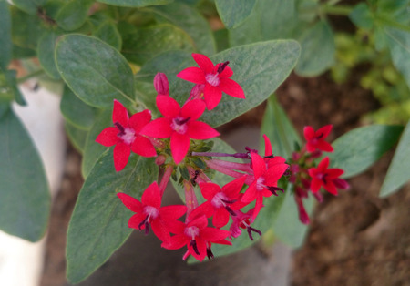 lanceolate: Pentas lanceolata, Egyptian Star flower, ornamental subshrub with elliptic to lanceolate dark green opposite leaves and star shaped magenta flowers in rounded corymbs