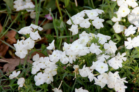 alternate: Phlox drummondii white, Annual phlox, Drummonds phlox, ornamental herb with lanceolate to oblong alternate leaves and white flowers in flat-topped cymes.