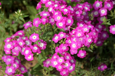 lanceolate: Phlox drummondii pink, Annual phlox, Drummonds phlox, ornamental herb with lanceolate to oblong alternate leaves and pink flowers with white center in flat-topped cymes. Stock Photo