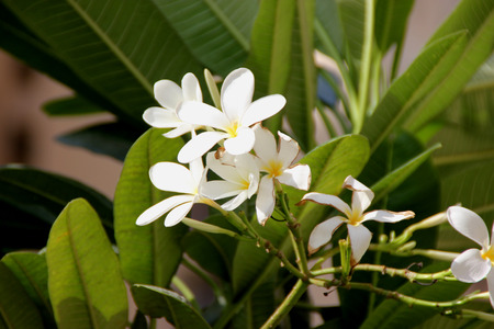 apex: Plumeria obtusa, Singapore graveyard flower, evergreen small tree with thick oblanceolate leaves with rounded apex and white flowers yellow center in terminal clusters