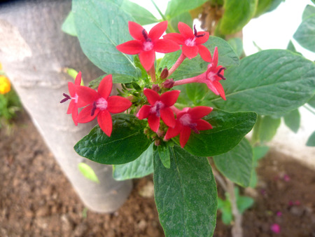 elliptic: Pentas lanceolata, Egyptian Star flower, ornamental subshrub with elliptic to lanceolate dark green opposite leaves and star shaped magenta flowers in rounded corymbs