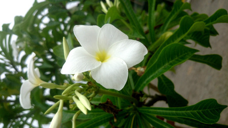 fiddle: Plumeria pudica, Fiddle leaf plumeria, Naag Champa, evergreen shrub or tree with unusual spoon shaped leaves with pointed tip and white flowers with yellow center in a cluster.