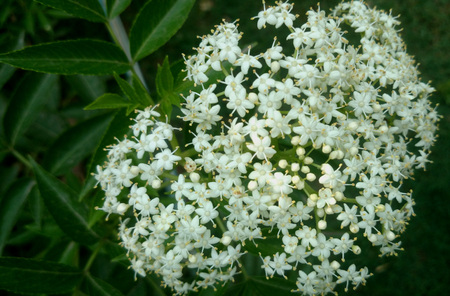leaflets: Sambucus canadensis, American black elderberry, deciduous shrub with opposite pinnate compound leaves with 5-9 leaflets and small white flowers in large corymbs Stock Photo