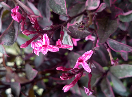 acanthaceae: Pseuderanthemum atropurpureum, Purple False Eranthemum, family Acanthaceae, ornamental shrub with purple leaves mottled with lighter color and pink flowers with white margined corolla lobes