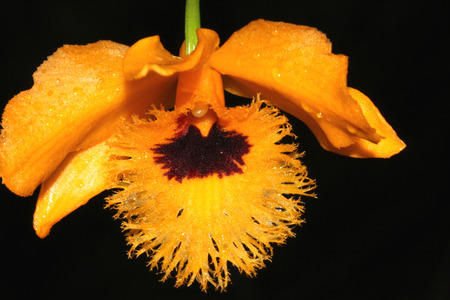 lanceolate: Dendrobium fimbriatum, Fringed-lipped Dendrobium , Himalayan orchid with oblong to lanceolate leaves and orange colored fimbriate flowers with chocolate center in a raceme appearing before leaves. Stock Photo