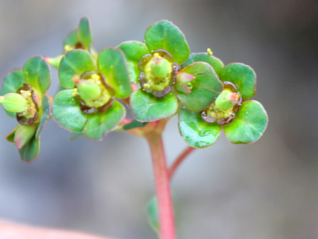 bracts: Euphorbia stracheyi, Prostrate Spurge, Sangmen, prostrate perennial herb with small ovate to elliptic leaves and terminal cyathium with large usually red glands surrounded by obovate bracts Stock Photo