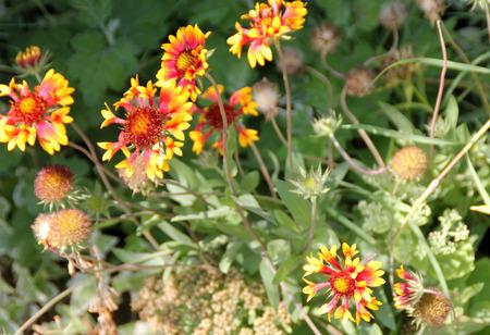 radiate: Gaillardia pulchella Lorenziana, Indian blanketflower, Indian paintbrush, ornamental with mostly basal leaves and radiate heads on long peduncle, ray florets mostly tubular