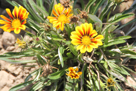 perennial: Gazania ringens, Treasure flower, perennial ornamental herb with blue-gray leaves mostly basal and daisy like flower heads on long peduncles.