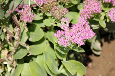 showy: Hylotelephium spectabile, Showy stonecrop, Butterfly stonecrop, Succulent ornamental with alternate green toothed leaves and small pink flowers in branched flat-topped cymes