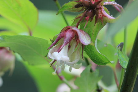 tubular flowers: Leycesteria formosa, Himalayan honeysuckle, vigorous deciduous shrub with oval green pointed leaves and white tubular flowers with red bracts, in pendulus racemes, and purple berries