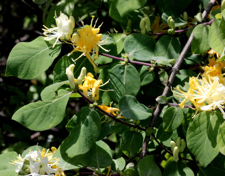 broadly: Lonicera quinquelocularis, Translucent honeysuckle, large hairy shrub or small tree with ovate to broadly lanceolate leaves up to 7 cm long leaves, hairy beneath; flowers cream colored turning yellow, bilipped, in pairs; berry translucent Stock Photo