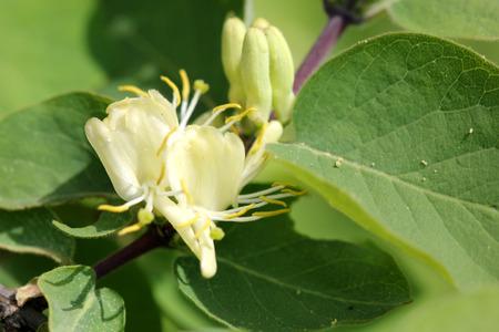 Lonicera quinquelocularis, 반투명 한 허벅지, 큰 털이 많은 관목 또는 넓게 피침 모양의 난형을 가진 작은 나무는 털이 많은 7 cm 길이의 잎을 남깁니다. 꽃 크
