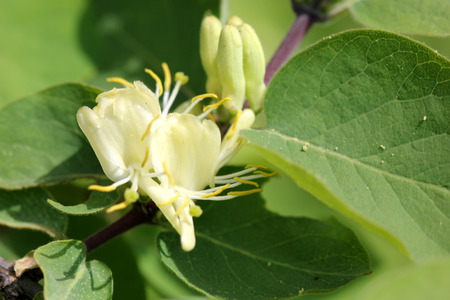 lanceolate: Lonicera quinquelocularis, Translucent honeysuckle, large hairy shrub or small tree with ovate to broadly lanceolate leaves up to 7 cm long leaves, hairy beneath; flowers cream colored turning yellow, bilipped, in pairs; berry translucent Stock Photo