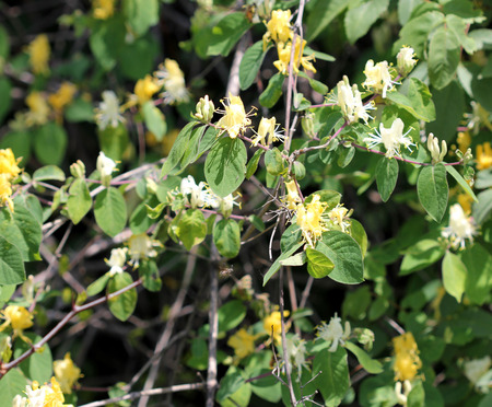 cream colored: Lonicera quinquelocularis, Translucent honeysuckle, large hairy shrub or small tree with ovate to broadly lanceolate leaves up to 7 cm long leaves, hairy beneath; flowers cream colored turning yellow, bilipped, in pairs; berry translucent Stock Photo