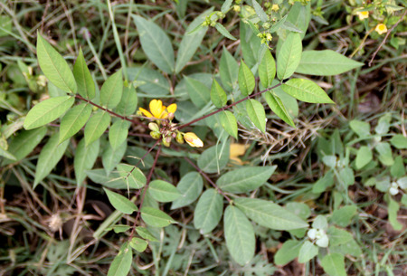 acuminate: Senna occidentalis, Coffee Senna, Negro Coffee, Annual undershrub with pinnate compound leaves with 9-11 acuminate leaves and yellow flowers in corymbs and slightly compressed pods, seeds used as coffee substitute Stock Photo