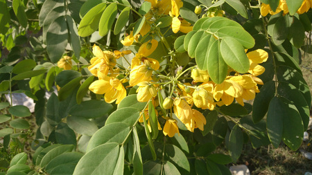 elliptic: Senna sulfurea, Smooth Senna, shrub or small tree with pinnate compound leaves with 4-6 pairs of ovate to elliptic leaflets with obtuse tip and bright yellow flowers in racemes and flat strap-shaped pods Stock Photo