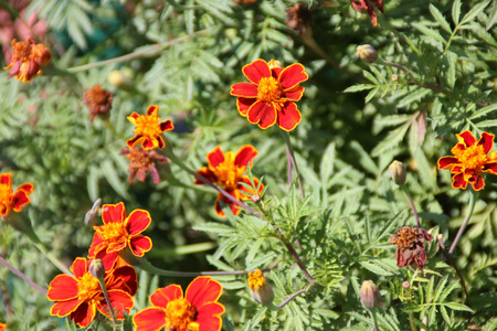 red heads: Tagetes patula, French Marigold, annual ornamental low growing herb with pinnately cut leaves and orange red heads margined with yellow, also used as poultry feed and in medicine
