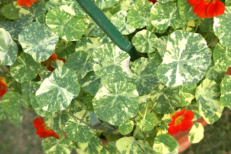 funnel shaped: Tropaeolum majus Alaska, Variegated Nasturtium, cultivar of Garden nasturtium with dark green peltate leaves variegated with white and funnel shaped flowers in various shades Stock Photo