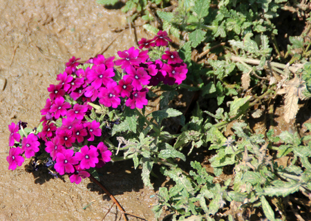 lobed: Verbena hybrida, Garden verbena, low growing perennial herb with slightly lobed green leaves and purple flowers in flat clusters Stock Photo