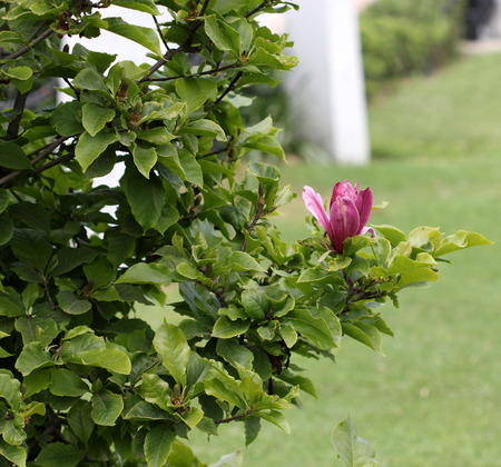 showy: Magnolia liliiflora, Purple magnolia, Lily Magnolia, deciduous shrub or small tree with pink to purple showy flowers appearing before leaf buds open