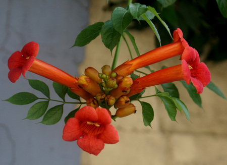 itch: Campsis radicans, Trumpet vine, Cow itch vine, deciduous woody vine with pinnate leaves, 9-11 leaflets, hairy beneath along veins and orange to scarlet trumpet shaped flowers, pods beaked Stock Photo